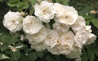 Выгонка роз в домашних условиях из черенков