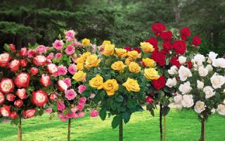Штамбовые розы посадка и уход осенью