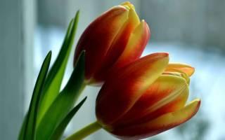 Тюльпанывыгонка и выращивание в контейнерах