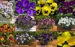 Можно ли виолу выращивать как комнатное растение