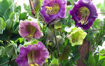 Кобея украсит постройку цветами колокольчиками