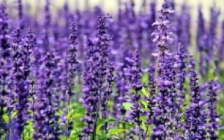 Сбор цветов лаванды