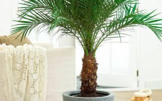 Как правильно ухаживать за домашней пальмой
