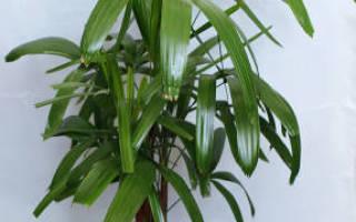 Комнатные цветы теневыносливыерапис (лат rhapis)