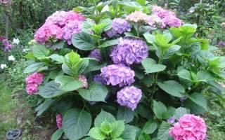 Гортензия садовая прекрасный декоративный кустарник