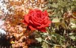 Уход за цветами осенью подготовка к зиме