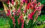 Иксия — когда сажать в открытый грунт (весной осенью)