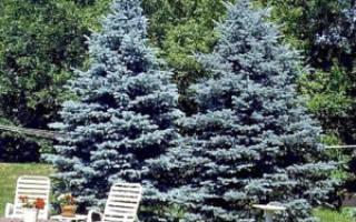 Уход за голубыми елями осенью