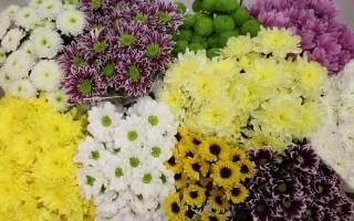 Как ухаживать за домашней хризантемой в горшке после цветения