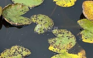 Пятнистость лилии очень распространенное заболевание