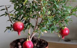 Как вырастить комнатный гранат из семян в домашних условиях