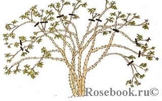 Уход за английскими розами осенью