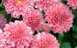 Цветение растений хризантемы поздней осенью стимулируется