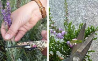 Вереск как сажать и ухаживать в саду