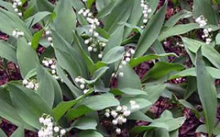 Как правильно выращивать ландыши в саду