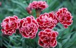 Гвоздика садовая многолетняя уход осенью