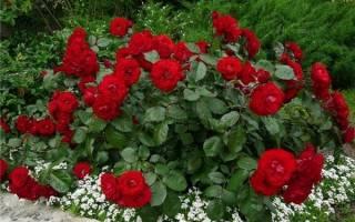 Как ухаживать кустовые розы