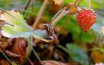 Посадка земляники садовой осенью и уход за ней