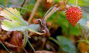 Посадка и уход за клубникой осенью в открытом грунте