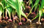 Как убрать луковицы гладиолусов на зиму