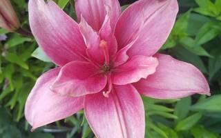 Межвидовый гибрид лилии сорт альгарве