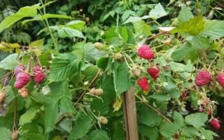 Правильный уход за малиной осенью залог урожая будущего года