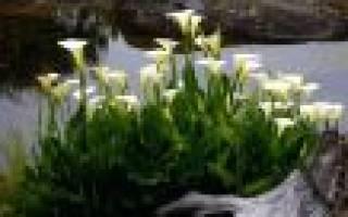 Уход осенью за каллами в саду