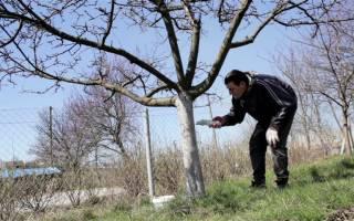 Как сделать побелку для деревьев несмываемой