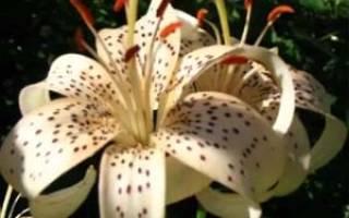 Лилии посадка и уход в открытом грунте осенью в сибири