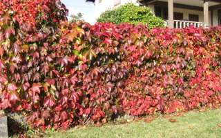 Уход осенью за девичьим виноградом