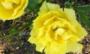 Луковицы тюльпанов после выкопки