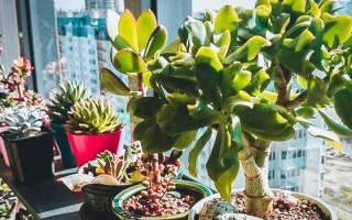Почему не растет толстянка денежное дерево