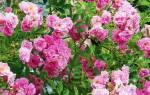 Как ухаживать за розой плетущейся