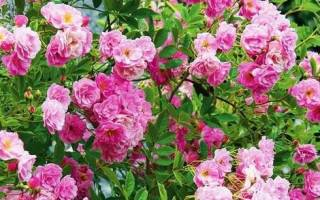 Плетистая розы посадка и уход