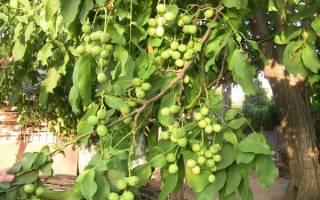 Правила посадки ореха грецкого ореха