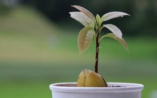 В как ухаживать за авокадо в домашних условиях