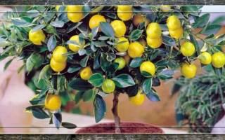 Как ухаживать за лимоном зимой в домашних условиях