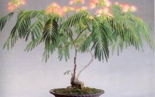 Альбиция бонсай выращивание из семян
