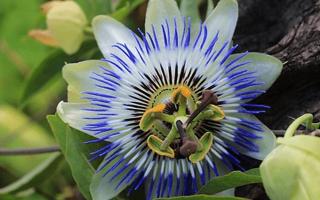 Цветок пассифлора уход в домашних условиях