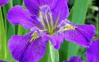 Здоровый цветок ириса