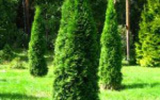 Когда лучше пересаживать хвойные деревья