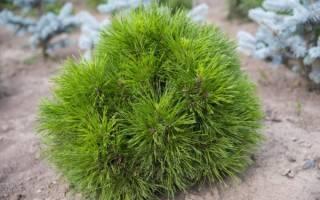 Как из шишки сосны вырастить дерево