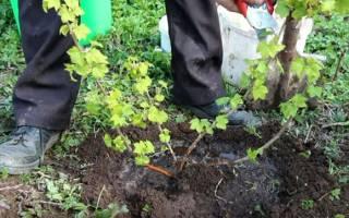 Посадка смородины весной в открытый грунт