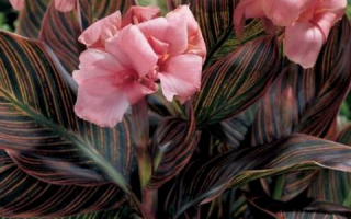 Цветы канны уход осенью