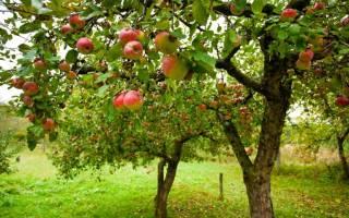 Осенний уход за фруктовыми деревьями осенью