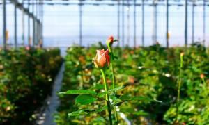 Проветривание мини теплиц для роз из поликарбоната