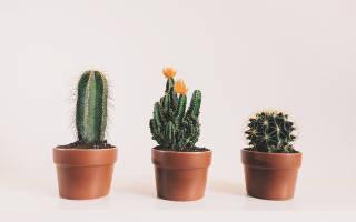 Все о домашних кактусах