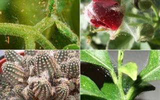 Паутинный клещ на комнатных растениях как бороться в домашних