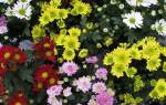 Хризантемы садовые многолетние сорта уход осенью