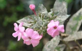 Флоксы уход осенью мучнистая роса